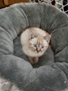 topaz kitten F